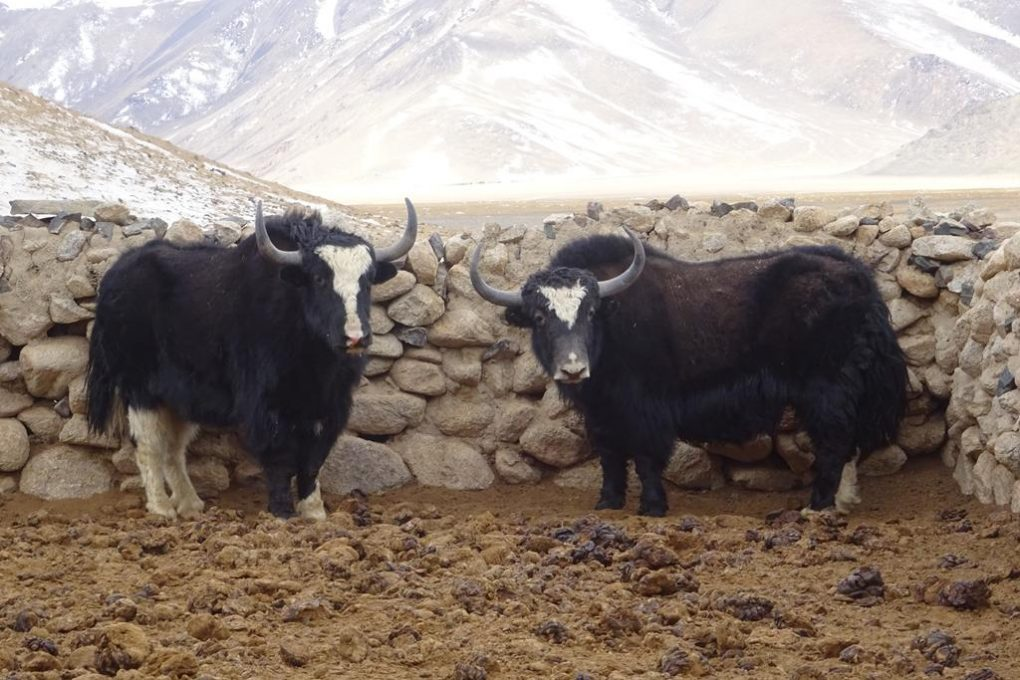 Yak Farm in Bash Gumbez