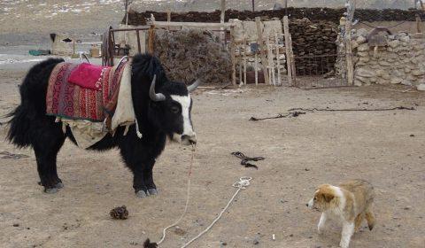 Yak und Hund in Kampfeslaune