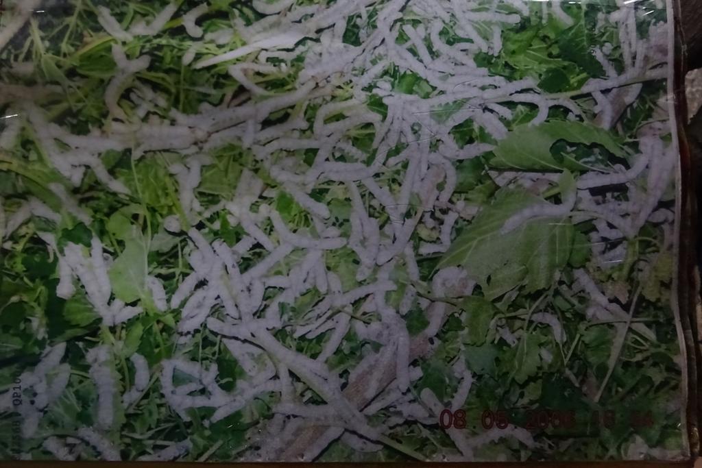 Seidenraupen und Maulbeerblätter