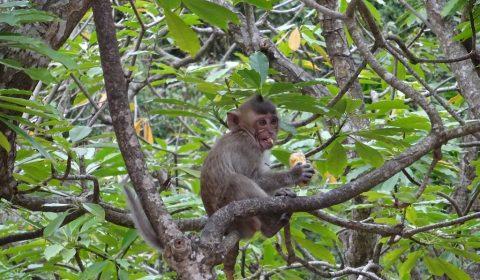 Äffchen auf der Monkey Island