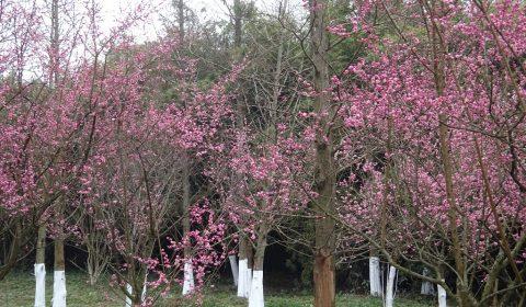 Frühling in Chengdu