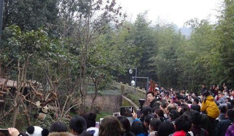 Massentourismus bei den Pandas