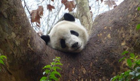 Panda beim Schlafen