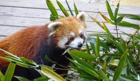 Roter Panda beim Fressen