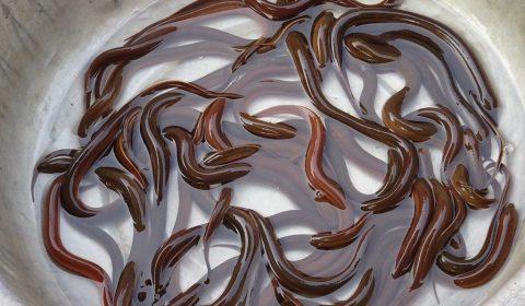 Aale auf dem Markt in Dien Bien Phu