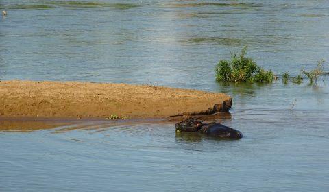 Wasserbüffel vor einer SandbankWasserbüffel vor einer Sandbank