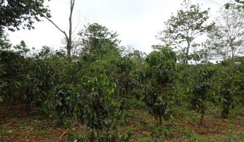 Kaffepflanzen im Bolaven Plateau