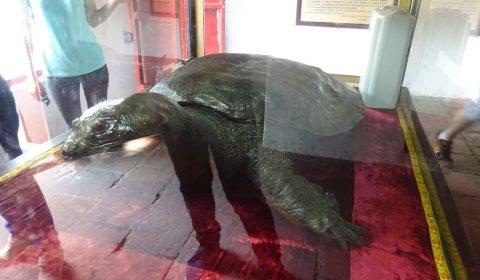 Schildkrötenmodell im Tempel